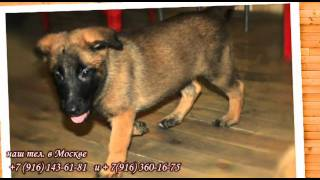 Бельгийская овчарка малинуа. Shephered Dog Malinois