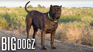Bane - The 165lbs Family Guard Dog | BIG DOGZ