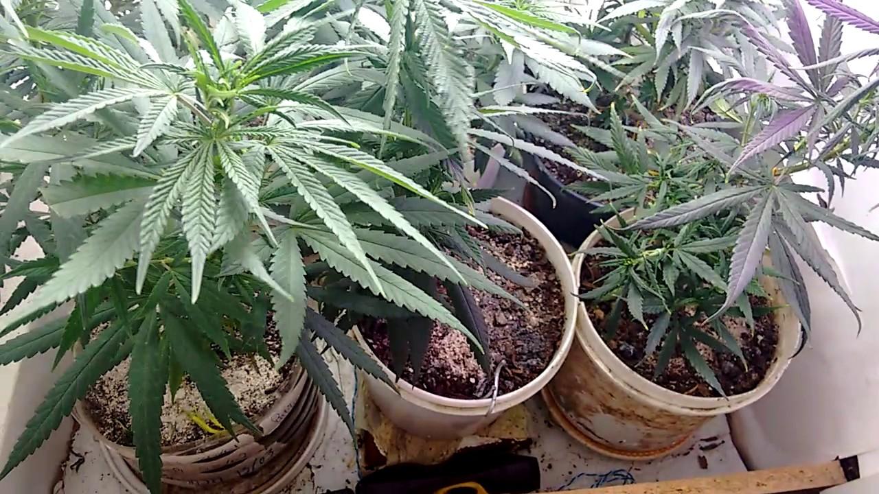 cultivo de cannabis indoor evolu o das meninas