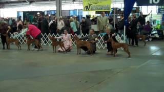 Beautiful Open Bitch Class-louisville Dog Show,ky