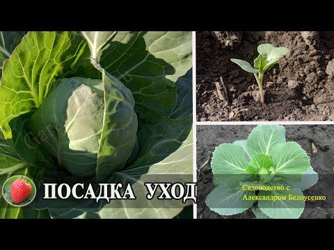 Посадка и выращивание белокочанной капусты в открытом грунте