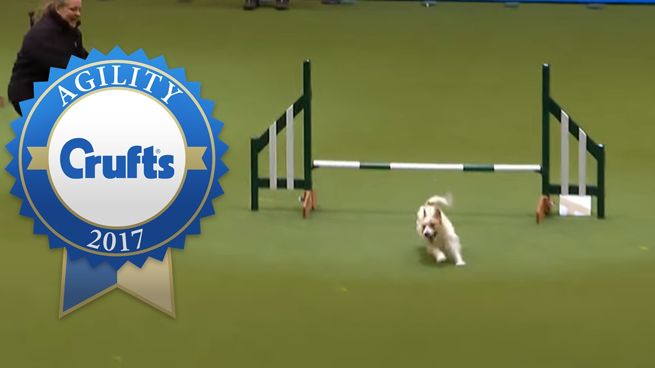 Hilarious Jack Russell Goes Loopy with Pleasure at Crufts 2017!