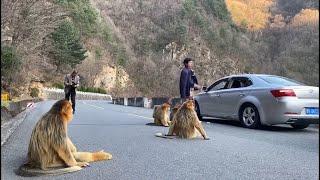 Golden monkeys block road for food in northwest China