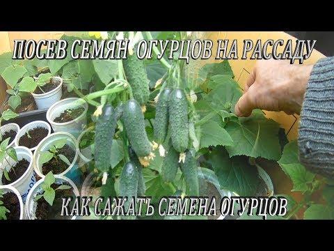 Как сажать семена огурцов дома.Посев семян огурцов на рассаду.Выращивание рассады огурцов в домашних