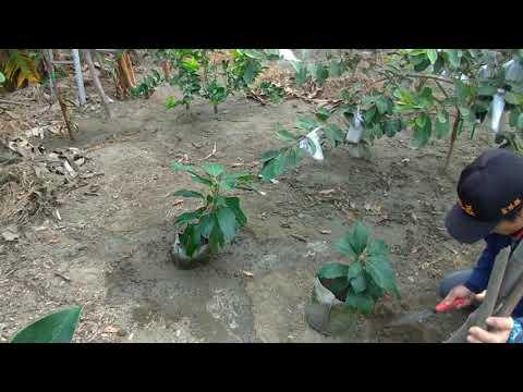 芽接酪梨來花了!假植授粉,提高產量。