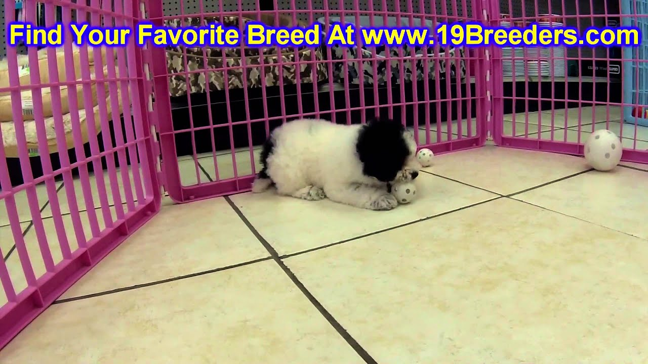 Toy Poodle Puppies For Sale In Newark New Jersey Nj