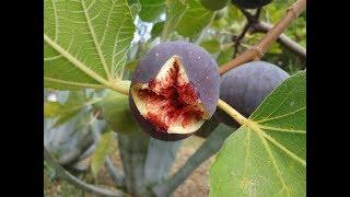 شجره التين في اول اثمار لها  طعم رووعه|Wonderful  fig  tree