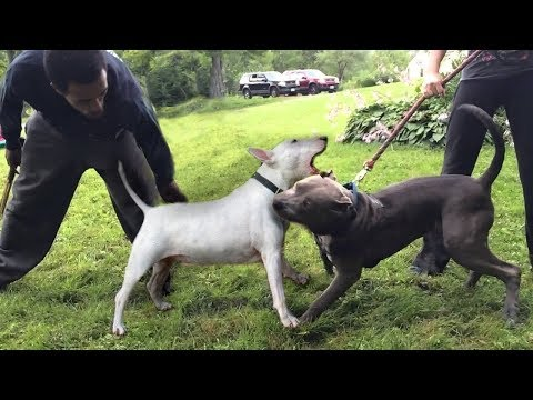 bull-terrier-vs-staffordshire-bull-terrier