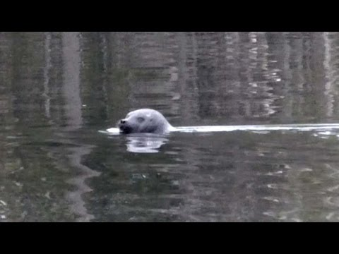 Sea Shepherd Volunteers Spot Critically Endangered Saimaa Ringed Seal at Haukivesi (Finland)