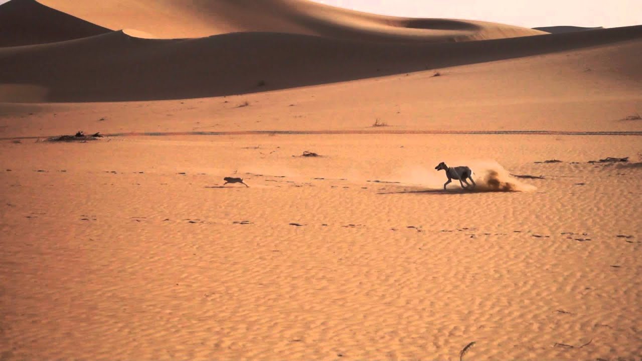 Desert hunting by saluki (7) - YouTube