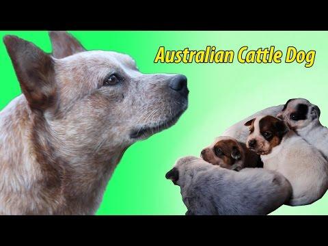 Australian Cattle Dog Italia Allevamento Cuccioli
