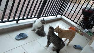 kedi kavgası baba kedi gelince diğer iki kedi tırstı