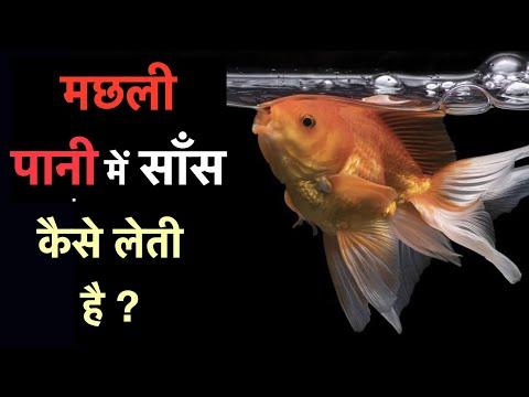 Machli (Machhli) Saans Kaise Leti Hai? How Do Fish Breathe?