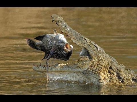 HUGE DEADLY NILE CROCODILE! - YouTube