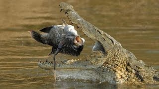huge deadly nile crocodile