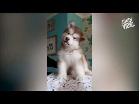 Смешная собака хаски Видео! - -Видео сёрфинг