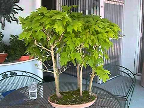 Red Maple Bonsai Trees 40 Yrs Old Youtube