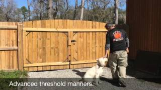 Golden Retriever Training 7 month old Before and After video