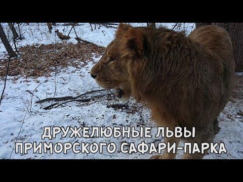 ДРУЖЕЛЮБНЫЕ ЛЬВЫ ПРИМОРСКОГО САФАРИ-ПАРКА
