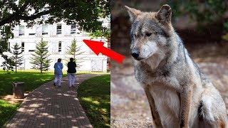 Волк пришел в городскую больницу! Вы не поверите, когда узнаете зачем