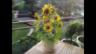 dwarf sensation sunflower time lapse photos