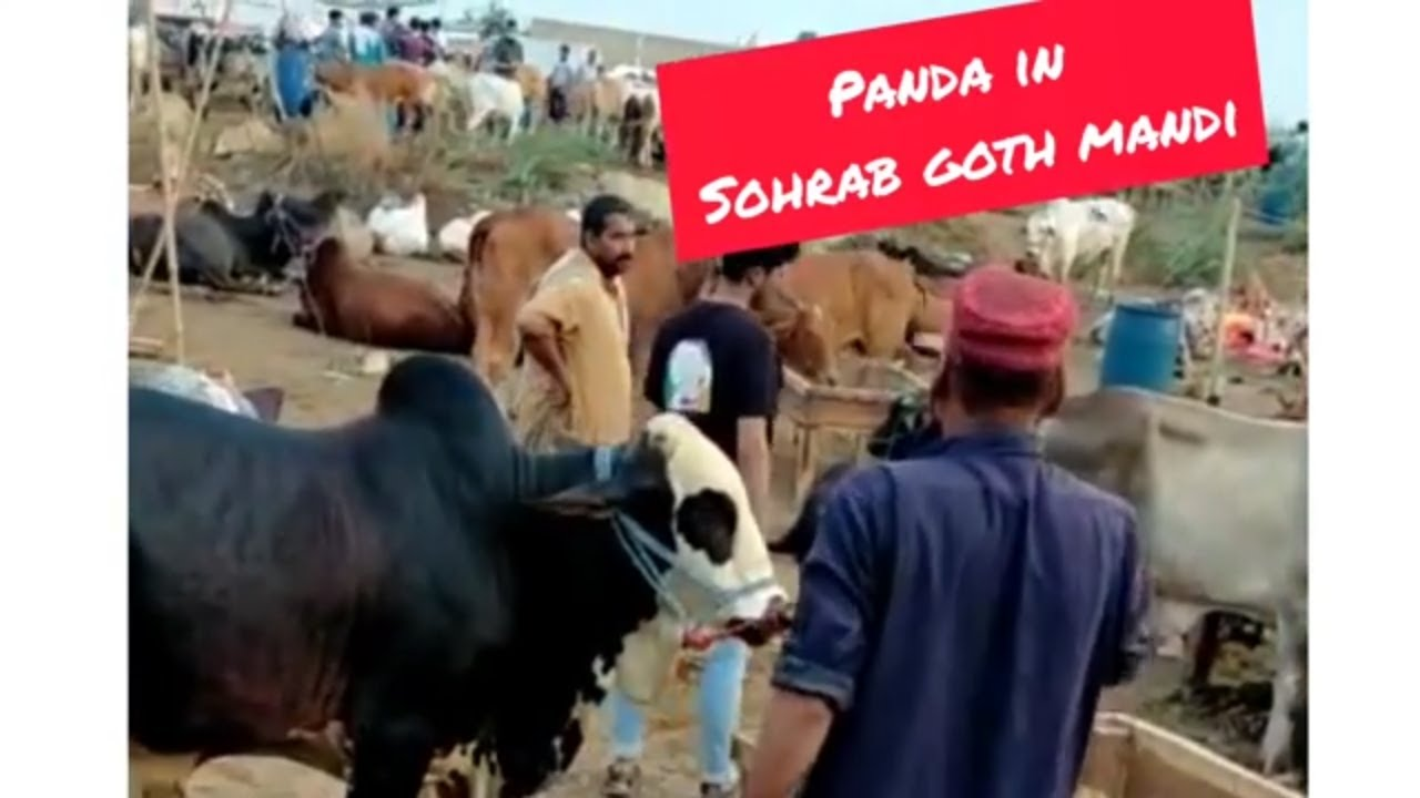 Panda in Sohrab Goth cow mandi 2021   Karachi   Malir Mandi 2021