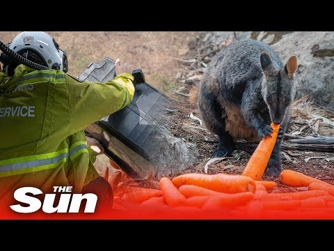 Helicopters Drop Food For Starving Koalas, Wallabies, And Kangaroos After Australian Bushfires