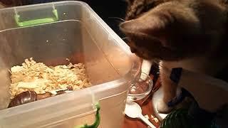 Реакция кошки на улитку (ахатина) FUNNY CATS