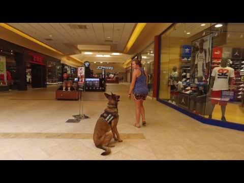 "German Shepherd/Malinois ""Maddie""Amazing Transformation.  Best Dog Training Hampton Roads Virginia"