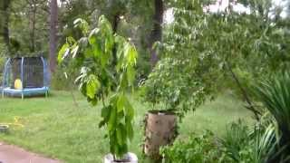 Avocado tree from seed over 2 yrs old