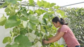 How to prune bottle gourd after harvesting the fruits