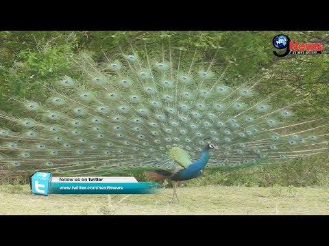 Video:  नाचते हुए मोर का अद्भुत वीडियों, देखकर खुशी से झूमने लगेगें आप | Peacock Dancing Video