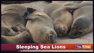 The Sleeping Sea Lions