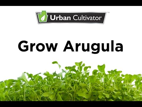 How to Grow Arugula Indoors | Urban Cultivator
