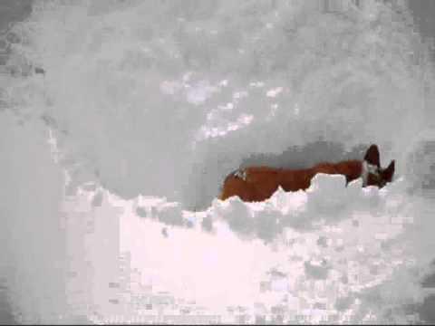 Corgi snow maze