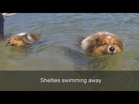 Shelties swimming away