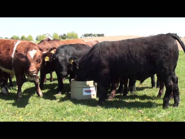Cattle Utilizing SmartLic Supplements #4