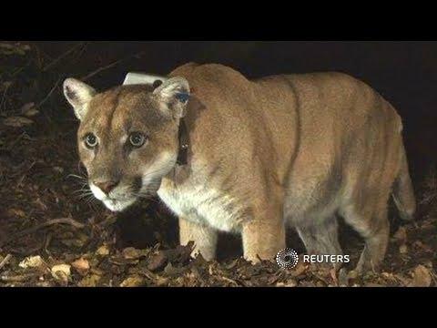 Colorado jogger strangles mountain lion after attack