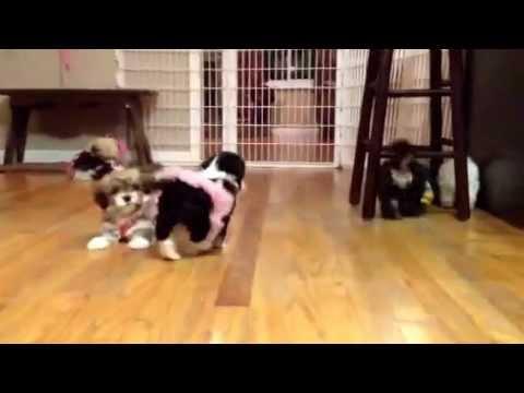 HavaHug Havanese Puppy Play!