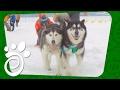 Зимние Забавы: Катаемся На Собаках. Все О Домашних Животных