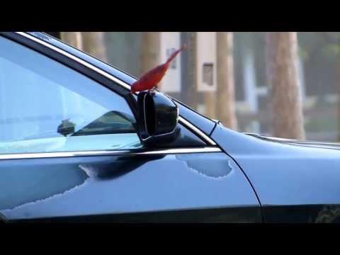 Northern Cardinal attack