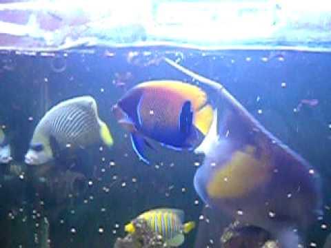 majestic angelfish youtube