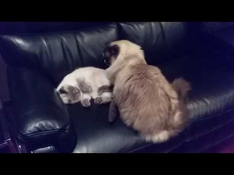 Relaxing on the lounge - PoathCats / PoathTV / Floppy Ragdoll Cats