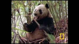 Гигантская панда (бамбуковый медведь)
