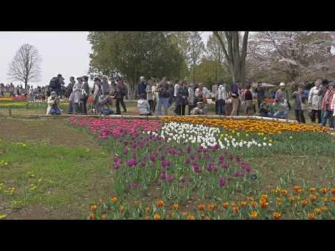 Tulips in Showa Memorial Park 昭和記念公園のチューリップ