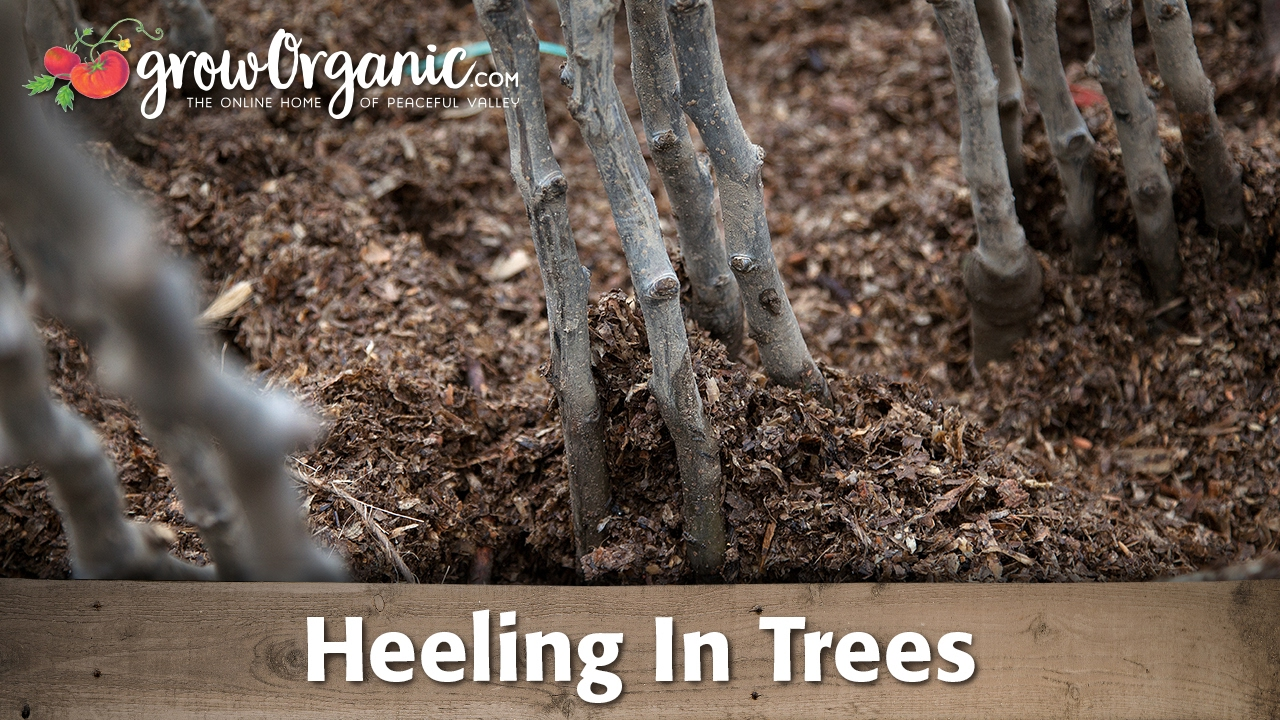 how to heel in bare root fruit trees before planting