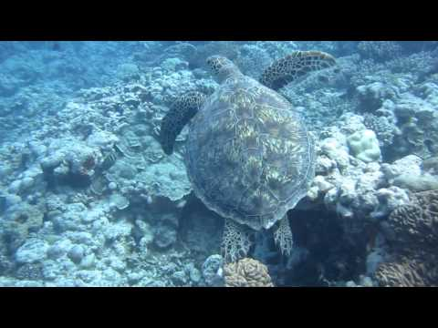 Cook Islands Aitutaki dive with humpback whale and calf