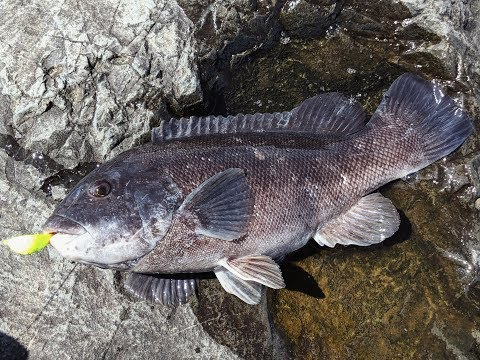 Tautog Fishing Inlet And Jetty - Blackfish On The Rocks