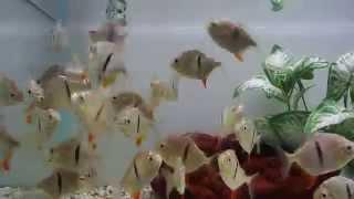 Thin Bar Myleus Schomburgkii @ www.AquaScapeOnline.com