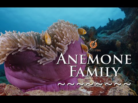 Underwater cameraman shorts: Anemone fish family